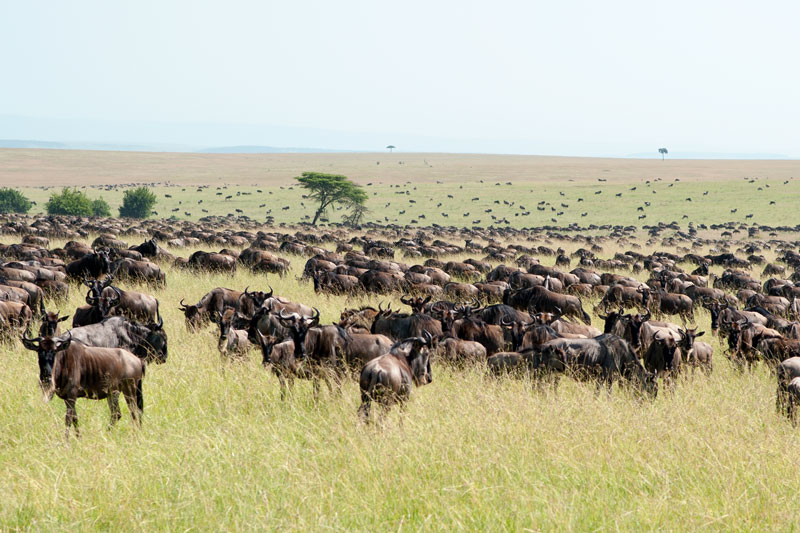 migration serengeti tanzanie kenya massai mara safari éléphants lions gnous zebres girafes enfant couples famille anniversaire