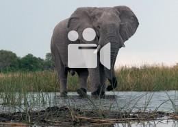 Video d'une rencontre avec des éléphants dans le linyanti au botswana lors d'un safari à pied