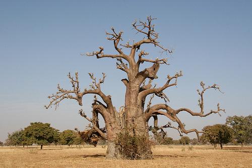 baobabs en séjour avec l'agence Mungo Park