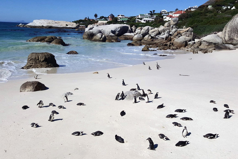 cape town pingouin