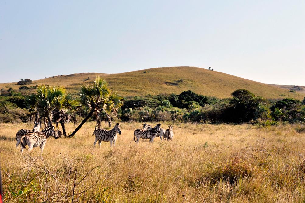Zebres dans le KwaZulu-Natal en Afrique du Sud