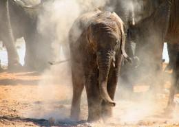 Elephants en Afrique du Sud