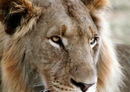 Les lions au parc Kruger avec Mungo Park
