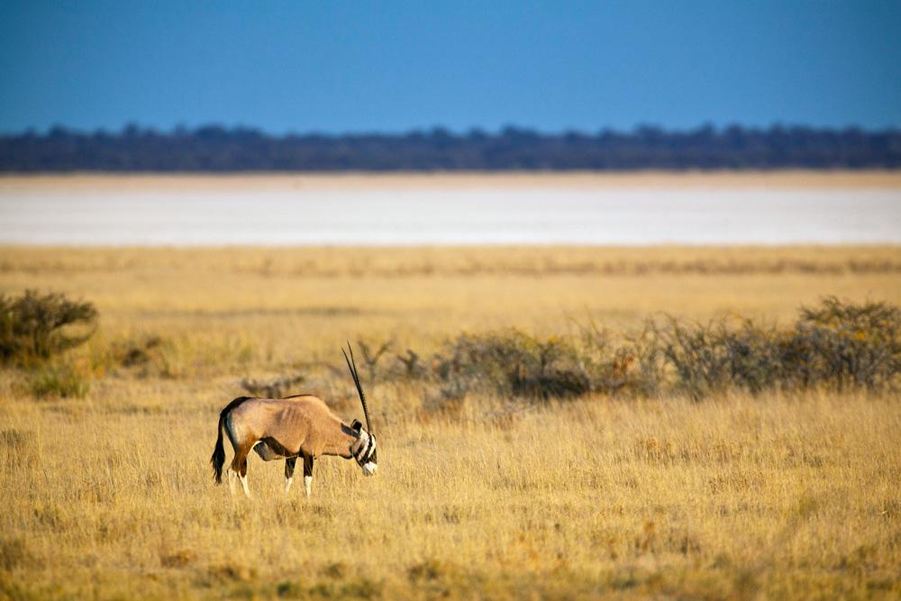Un oryx en Namibie