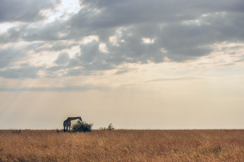 Giraffe en Tanzanie