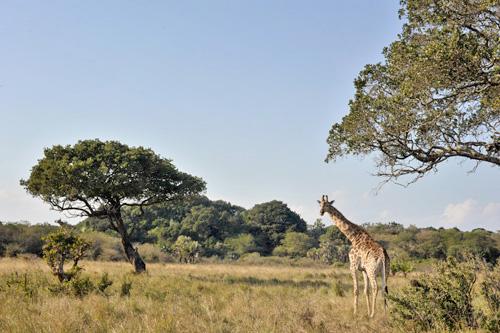Giraffe Mungo Park - safari en afrique