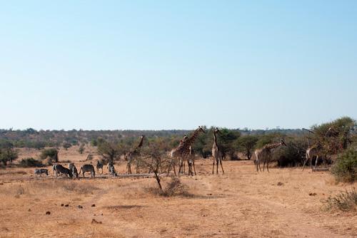 zèbres et giraffe lors d'un safari en jeep