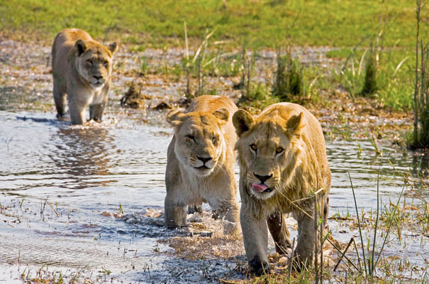 Lions lionnes Botswana Delta Okavango