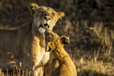maasai mara lion lionceau safari privilège luxe haut de gamme