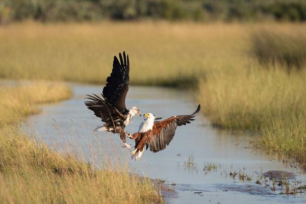 Delta de l'Okavango Botswana oiseaux animaux saison