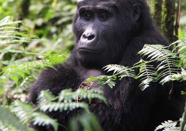 Safari gorilles en ouganda