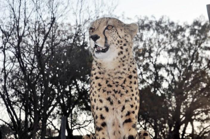 Guépard en Afrique du Sud