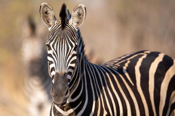 A quelle saison partir en safari animaux pluies zèbres