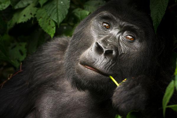 ouganda safari gorille famille randonnée visite
