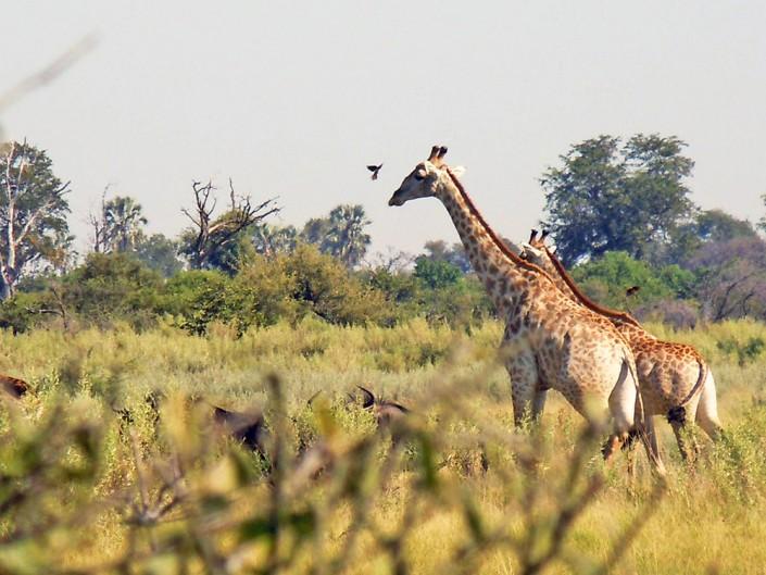 Une giraffe dans le Delta de l'Okavango