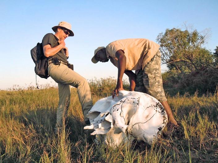 Le crane d'un éléphant blanchi par le soleil