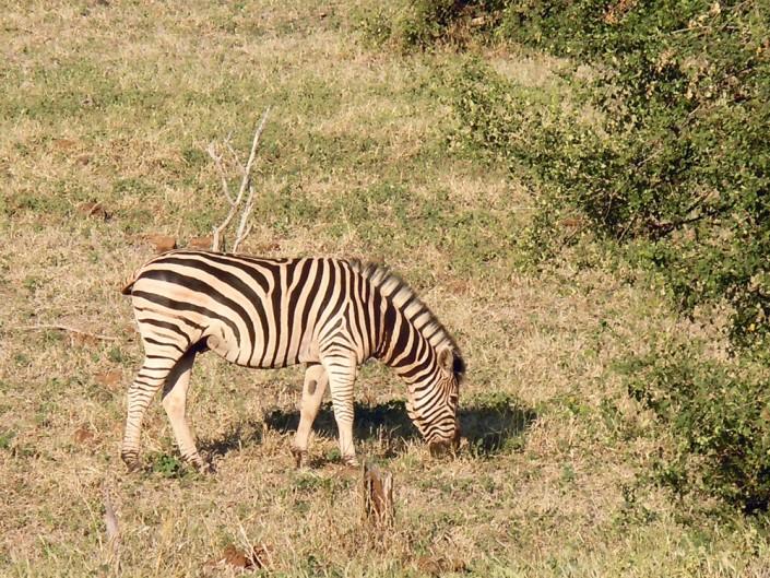 Un zèbre en safari au Botswana