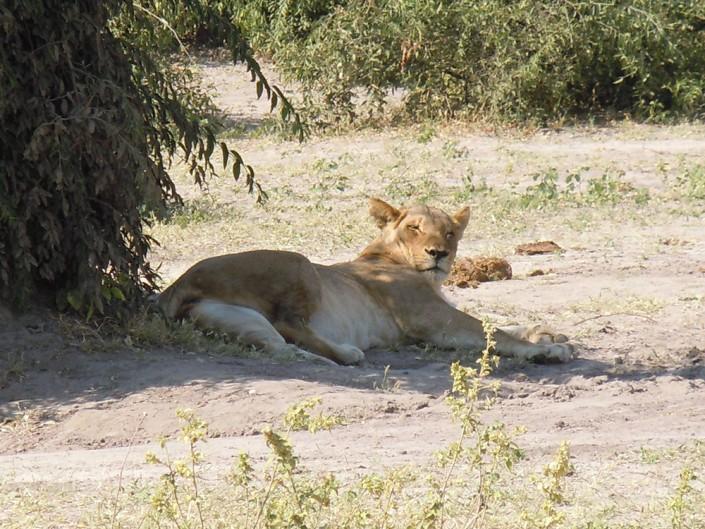 Pendant ce temps là, la lionne se repose