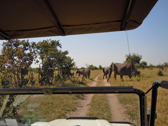 Éléphants traversent la piste