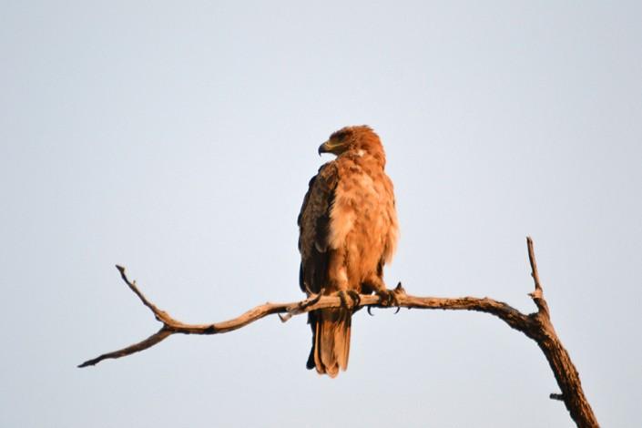 Aigle dans le Delta de l'Okavango