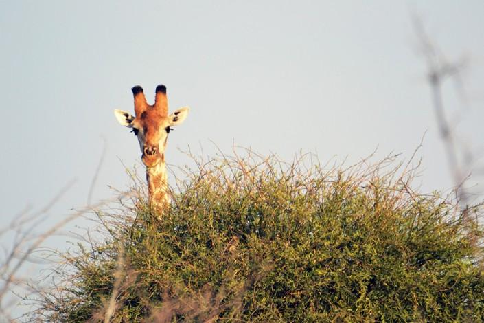 Une giraffe en safari