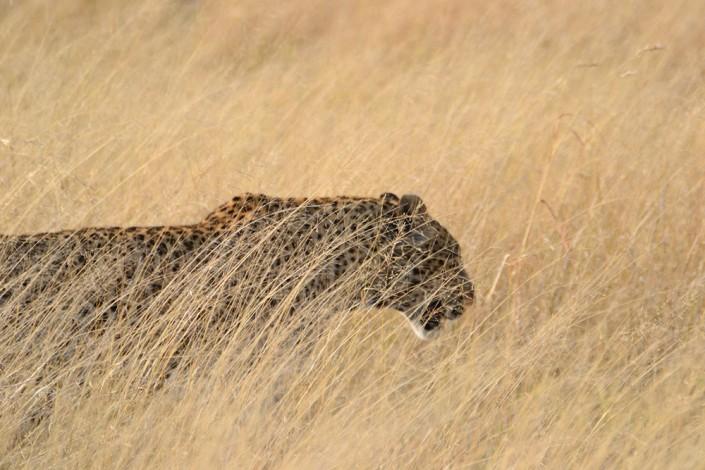 Léopard dans les herbes hautes