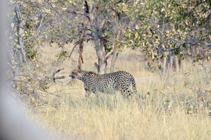 guépard dans le parc de Moremi - très rare de voir cela