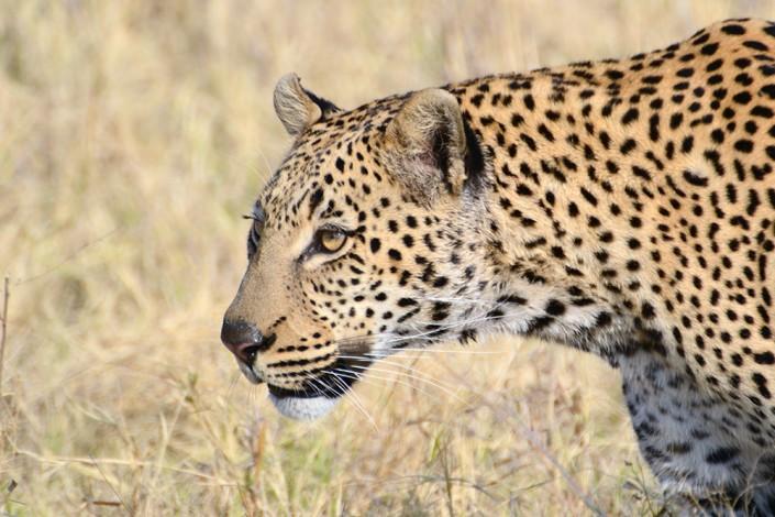 un beau léopard