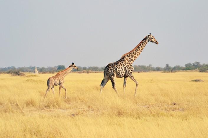 Giraffes dans la plaine