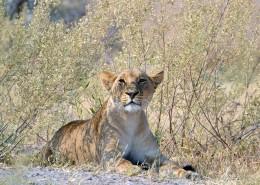 Une jeune lionne