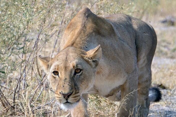 La lionne se met à chasser