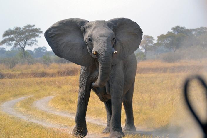 Un jeune mâle intimide la voiture de safari