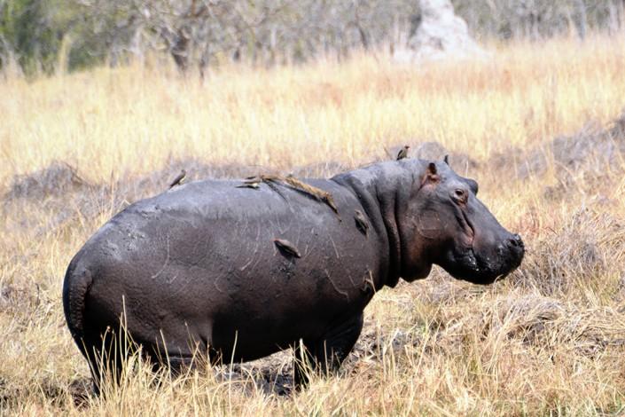 Hippopotame hors de l'eau