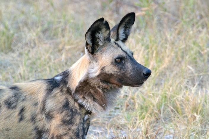 lycaon, un des prédateurs les plus rares