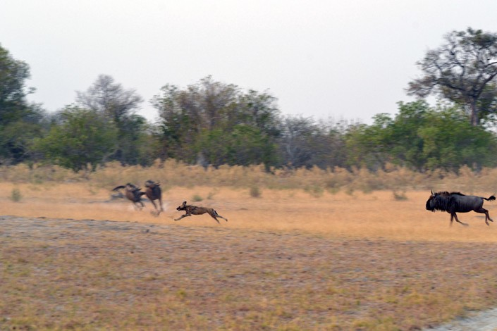 Chasse des lycaons tourne mal
