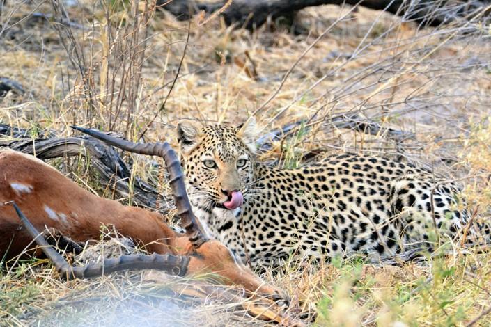 repas d'un léopard