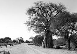 Baobabs en Afrique du Sud, voyage authentique hors des sentiers battus avec Mungo Park, agence de voyage specialiste et sur mesure