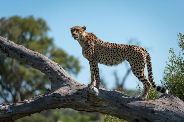 quand partir en safari animaux guépard saison