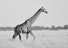 safari itinerant botswana petit groupe