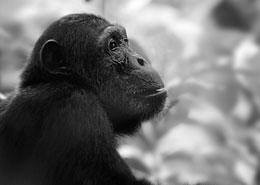 greystoke mahale chimpanzee tanzanie afrique voyage sur mesure exceptionnelle bucket list