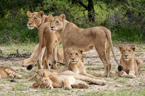 Lions en safari en Afrique du Sud dans la réserve de Sabi Sands près du parc Kruger