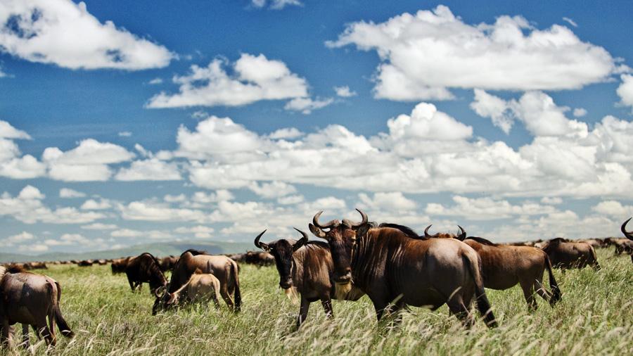 migration de gnous dans le Serengeti en Tanzanie