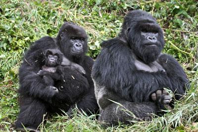 safari au rwanda gorilles trekking