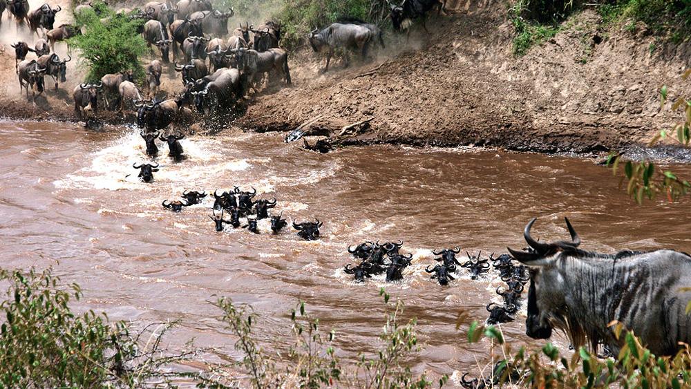 la traversée de la rivière, une étape périlleuse des grandes migrations du serengeti en Tanzanie