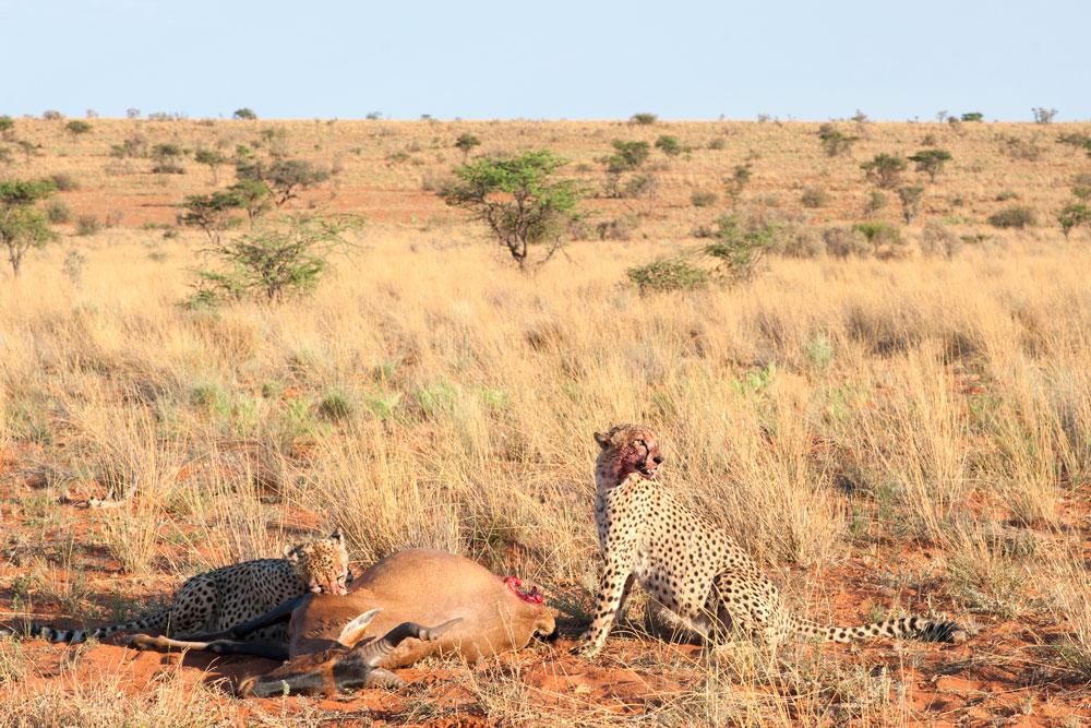 safari kalahari tswalu guepard animaux sauvage safari