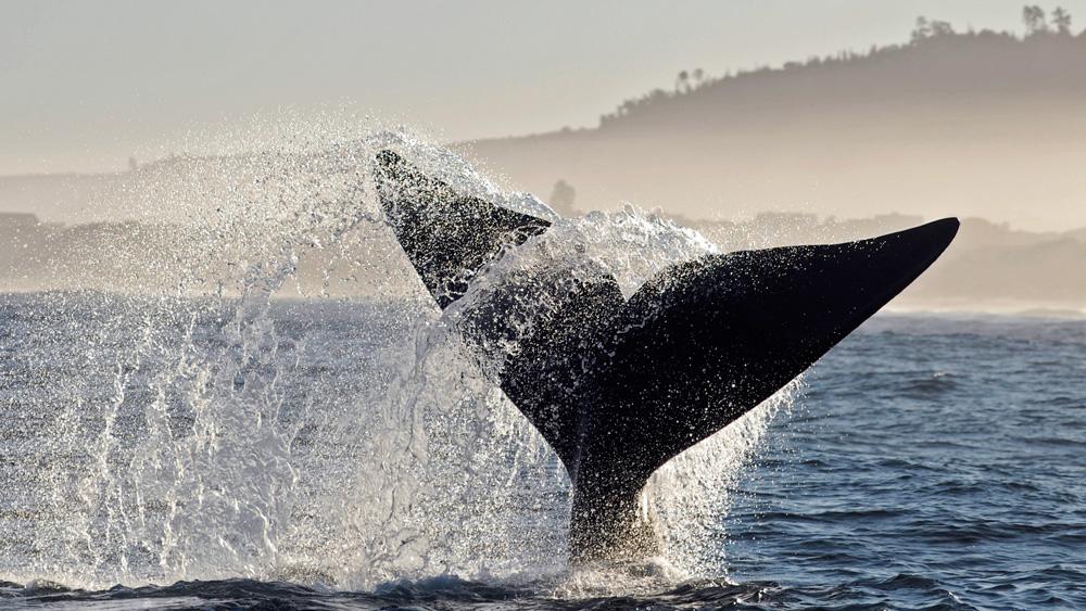 Baleine franche australe au large d'hermanus