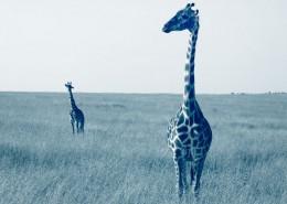 safari nord tanzanie migration