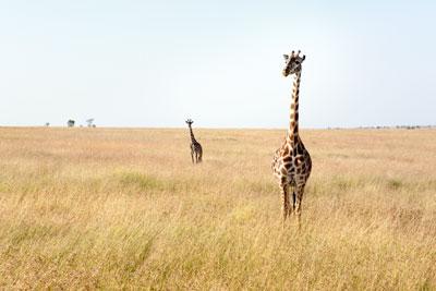 safari kenya masai mara voyage afriqeu sur mesure