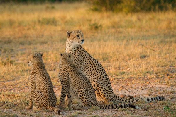 visite Kruger Afrique du Sud animaux guépard