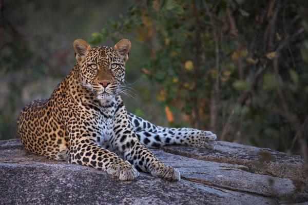 visite Kruger Afrique du Sud animaux léopard